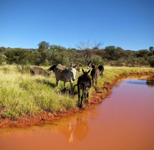 Donkeys at a watering hole