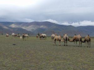 Altai Camels
