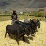 Sarhad farmer with donkeys