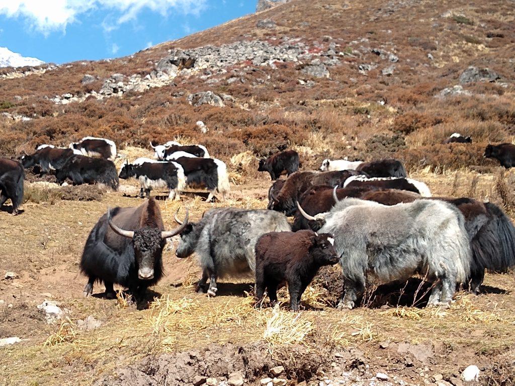 Kyangin Gompa yaks